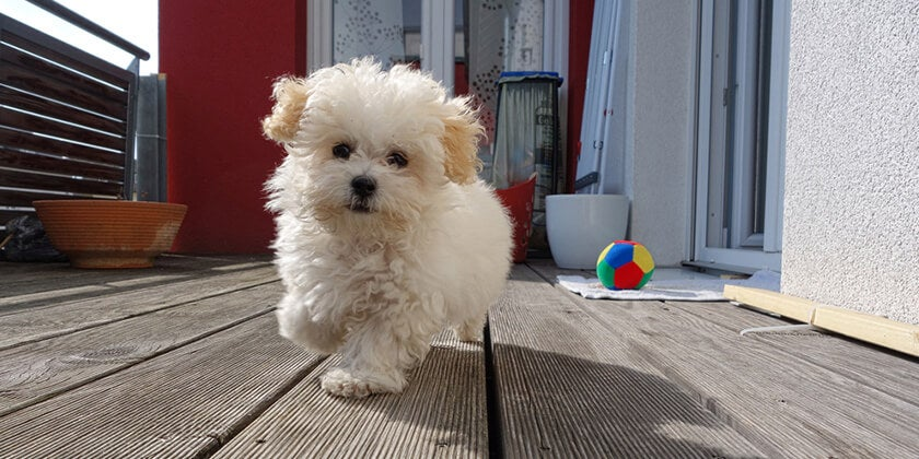 small dog playing on balcony