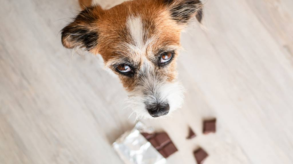 dog trying to eat chocolate