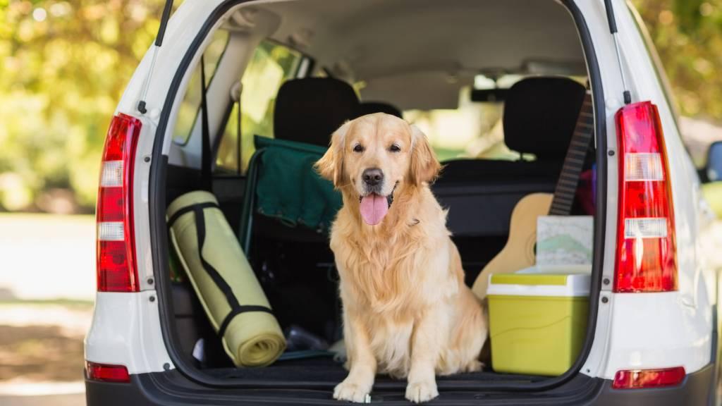 Golden retriever in boot of car