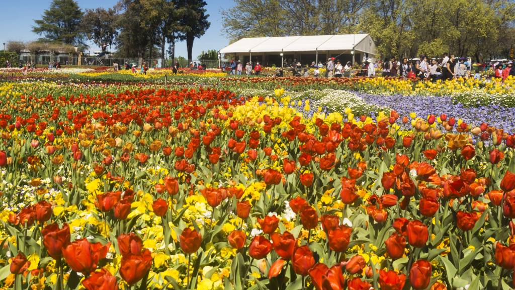Tulips and flowers at Floriade in Canberra, Australia