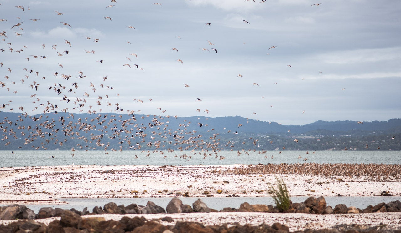 Many of the endemic, migratory and native wading bird species who visit Manukau Harbour take flight in a swarm above the Manukau bird sanctuary and roosts. The bar-tailed godwit is a common, seasonal sight along the Watercare Coastal Walkway.