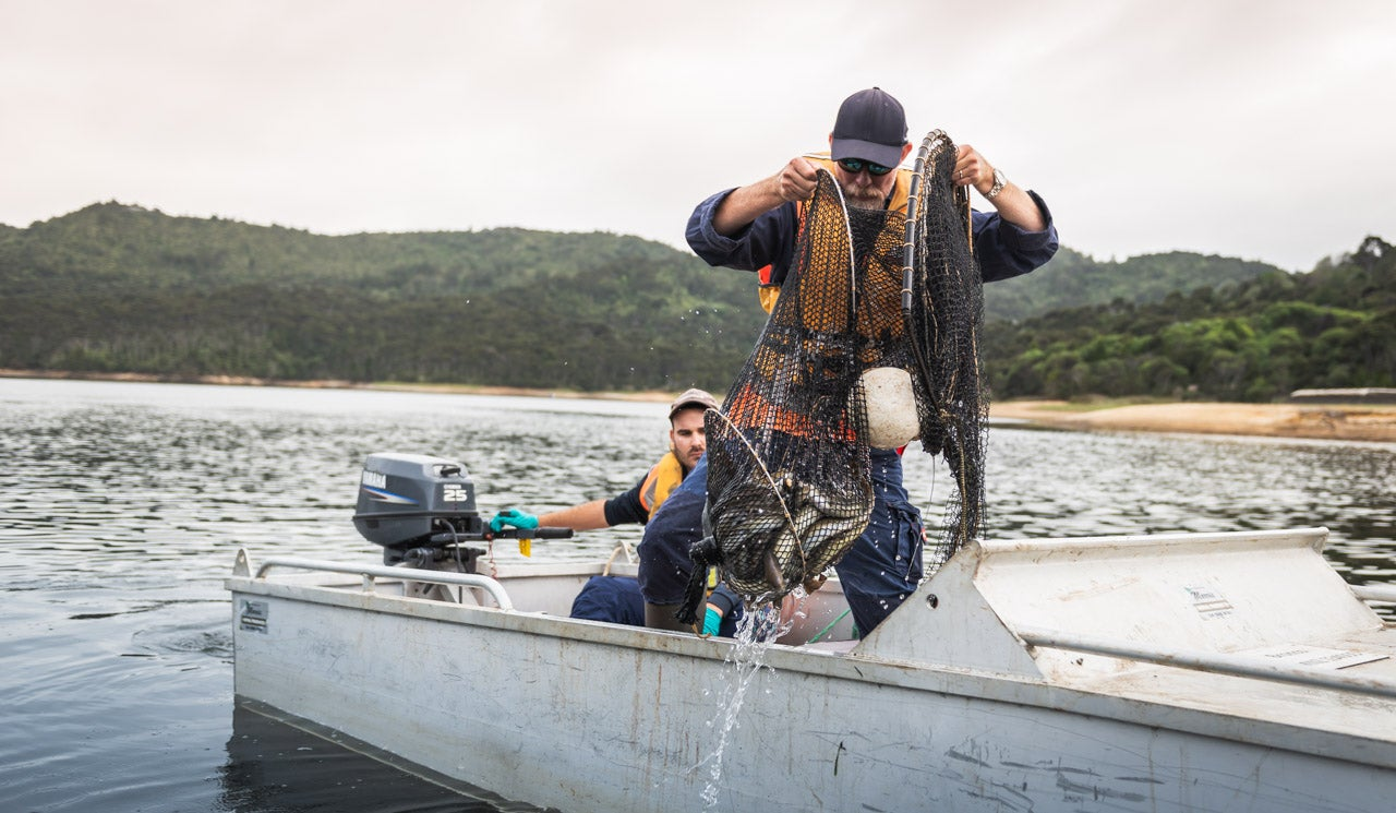 Watercare dam technician hauls a net of eels onto the boat, for measuring and weighing