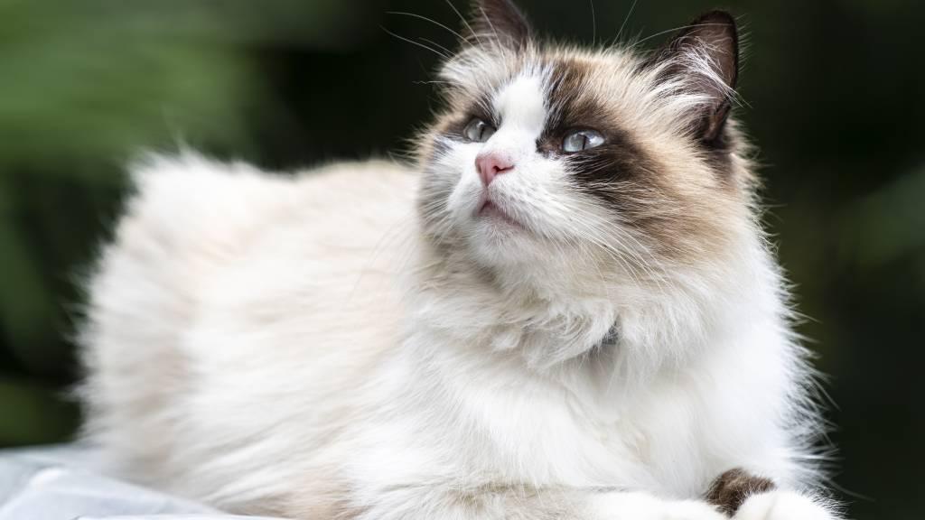 white cat as a pet