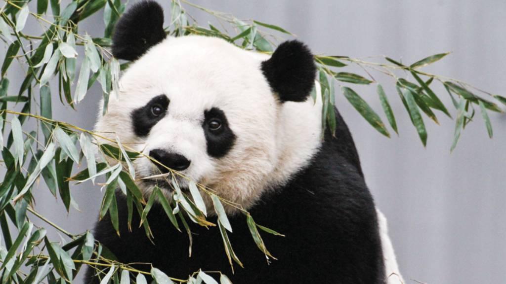 Giant panda Mei Xiang eating leaves