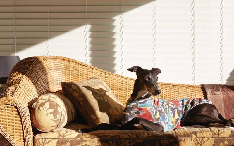 Jeremy Richman's rescue greyhound, Long Black, at home, sitting on a wicker couch