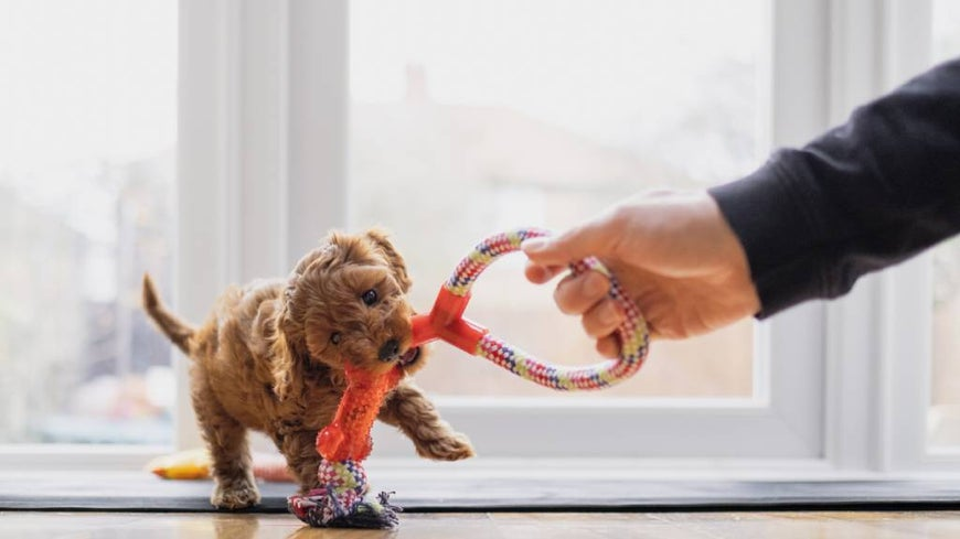 Cavoodle puppy playing with toy and owner inside.