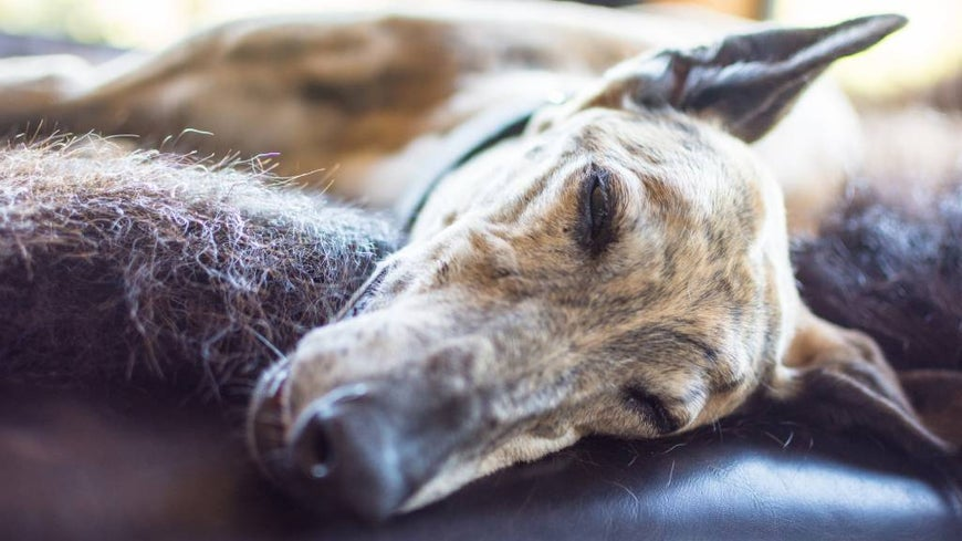Greyhound sleeping on a leather couch