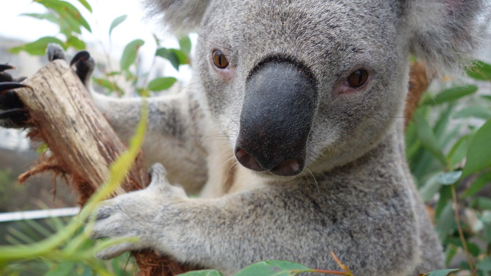 Sony   One of the cute koala selfies   Devotion