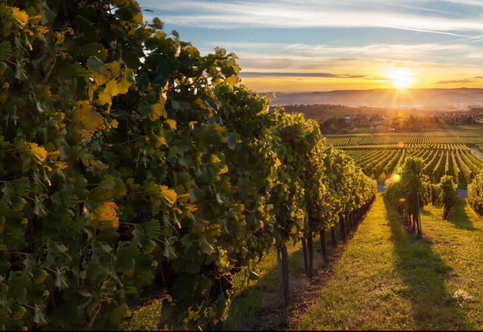 Wine Selectors | vineyard at sunset | Devotion