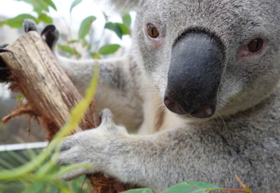 Sony | koala selfie | Devotion