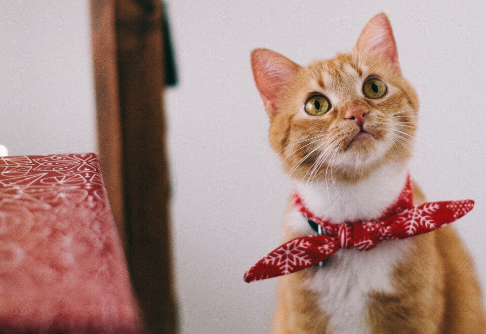 Fusst Cat | cat with red bandanna looking upwards | Devotion